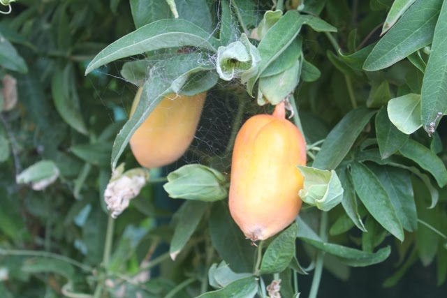 My Edible Fruit Trees:...