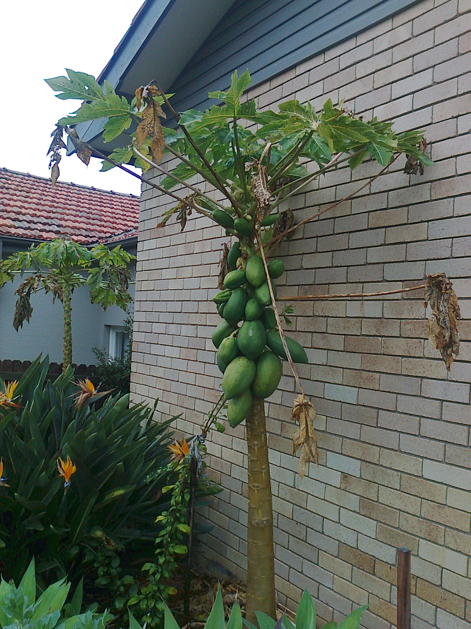 My Edible Fruit Trees Pawpaw Trees Nsw