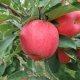 Apple - pink lady - compliments of farming unlocked