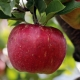 Apple red delicious compliments of Cooks Farms Orchard