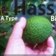 The Larger Avocado Tree with well known flavour