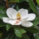 Magnolia grandiflora compliments of world of flowering plants