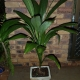 Excellant pot plant when young