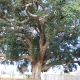 Cork Oak Tenterfield