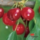 Cherry Trixzie Black Cheree Compliments of Fleming Nursery propagated by Flemings Nursery