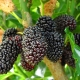 Mulberry Dwarf Black on tree