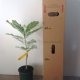 Jacaranda White Grafted For Sale 165mm pot