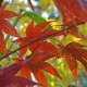 Japanese Maple Osakazuki