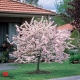 Prunus elvins compliments of guildford garden centre