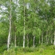 Silver birch compliments of mooseys country garden