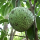 Mountain Soursop compliments of vendio
