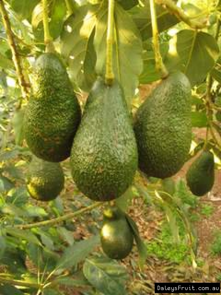 The Many Varieties of Avocado Trees