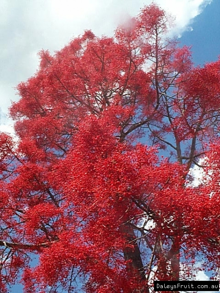 Flame Tree Brachychiton Acerifolius Is For Sale In
