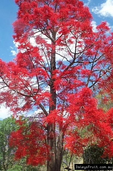 Flame Tree Grafted Tree Brachychiton Acerifolius