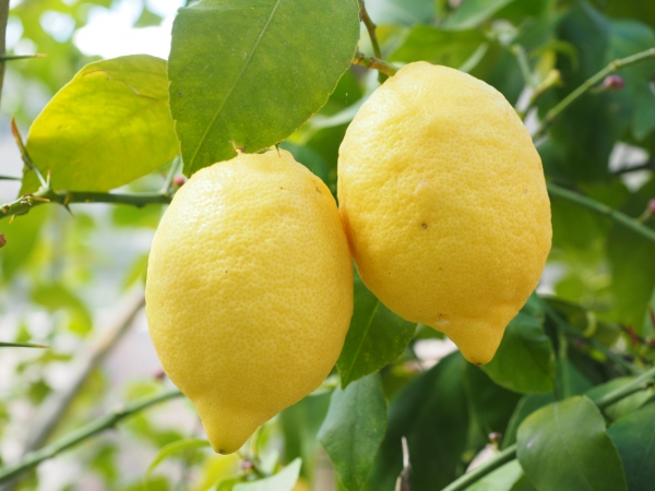 Grafted Lemon Fruit Trees