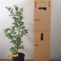 Acerola Cherry Florida Sweet For Sale 165mm pot