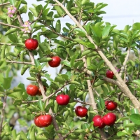 Acerola on tree