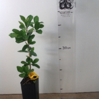 Acerola Florida Sweet For Sale Super Tube