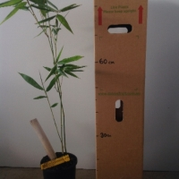 Bamboo Oldhamii For Sale 165mm pot