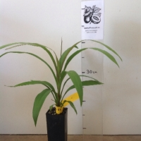Cordyline Narrow leaved palm lily For Sale Super Tube