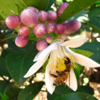 Lemon Blossom with Bee