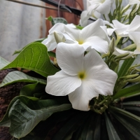 frangipani evergreen compliments of mgonline