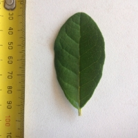 Leaf of the Feijoa