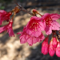 Flowering Cherry Low Chill