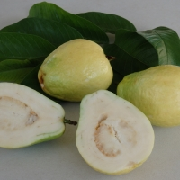 Guava China Pear