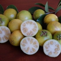 Guava Yellow Cherry
