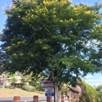 Leopardwood Tree growing at Kyogle Hospital