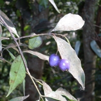 how to stop lilly pilly from fruiting
