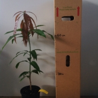 Mango Bowen Seedling For Sale 165mm pot