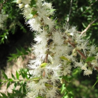 Melaleuca styphelioides Compliments of wikipedia