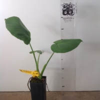 Monstera Fruit Salad Tree For Sale Super Tube