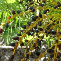 Dwarf Date Palm compliments of Hawaii Landscapes