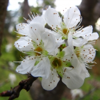 Gulf Ruby Plum Blossoms