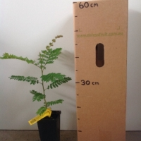 Yellow Flame Tree Peltophorum pterocarpum For Sale Mega Tube