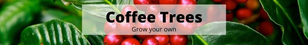 Grow your very own Coffee tree
