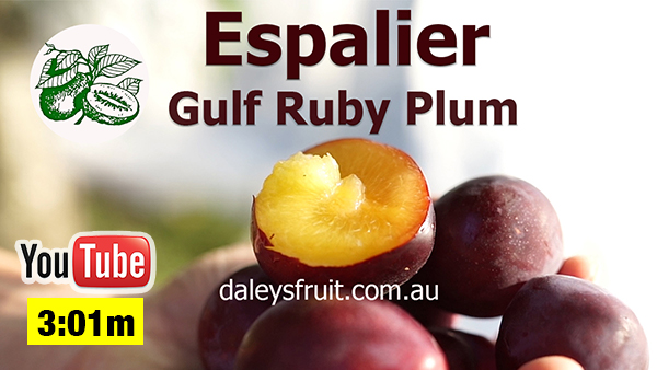 Growing Gulf Ruby Plum Trees using Espalier methods