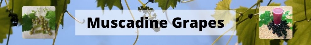 Muscadine Grapes Now Available