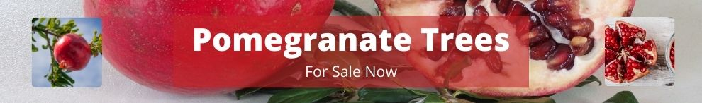 Pomegranate Trees available for Purchase