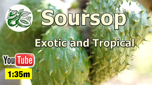 Soursop Fruit Trees