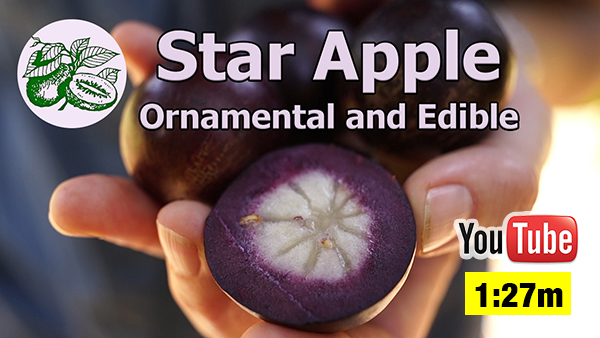 Growing Star Apple Fruit Trees