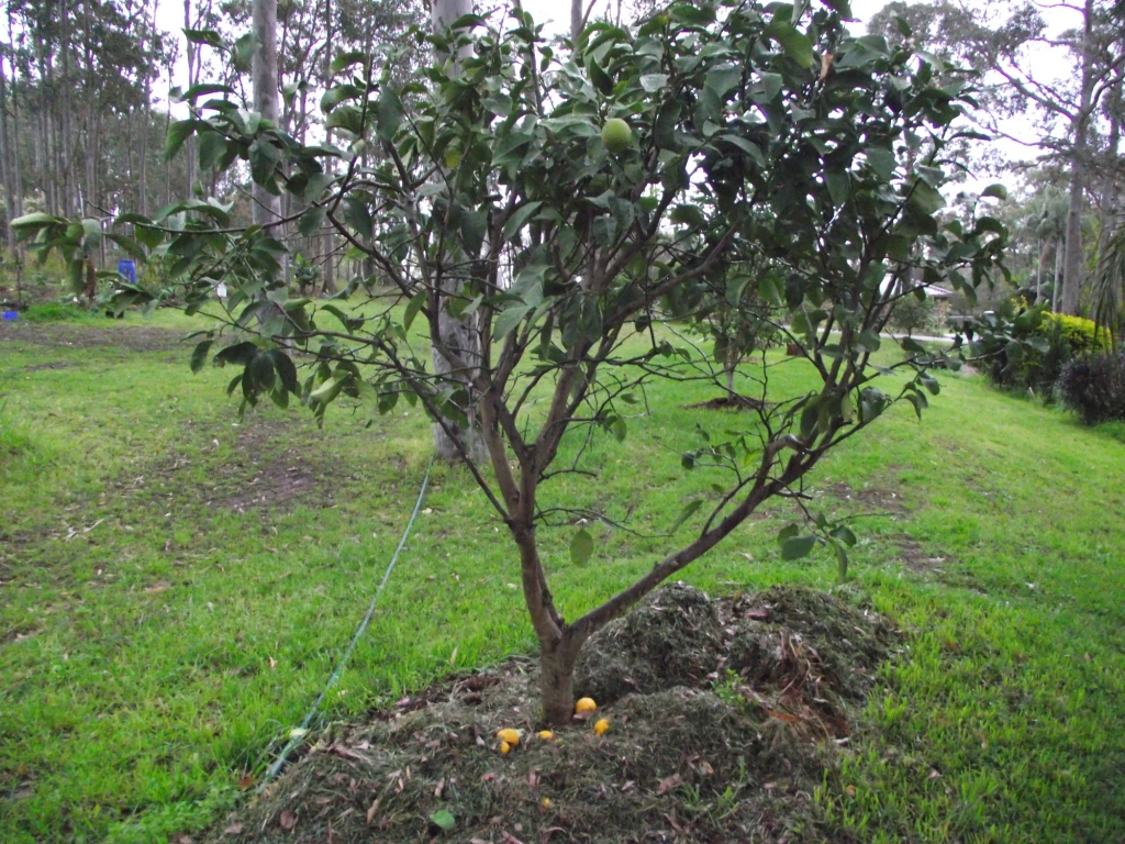 forum transplanting older citrus trees