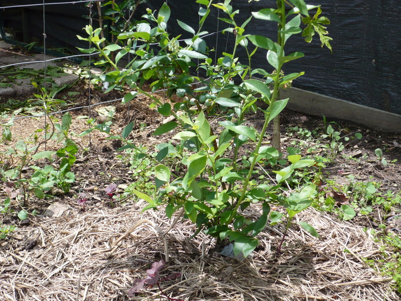 Buy Blueberry Biloxi Tree Vaccinium Spp