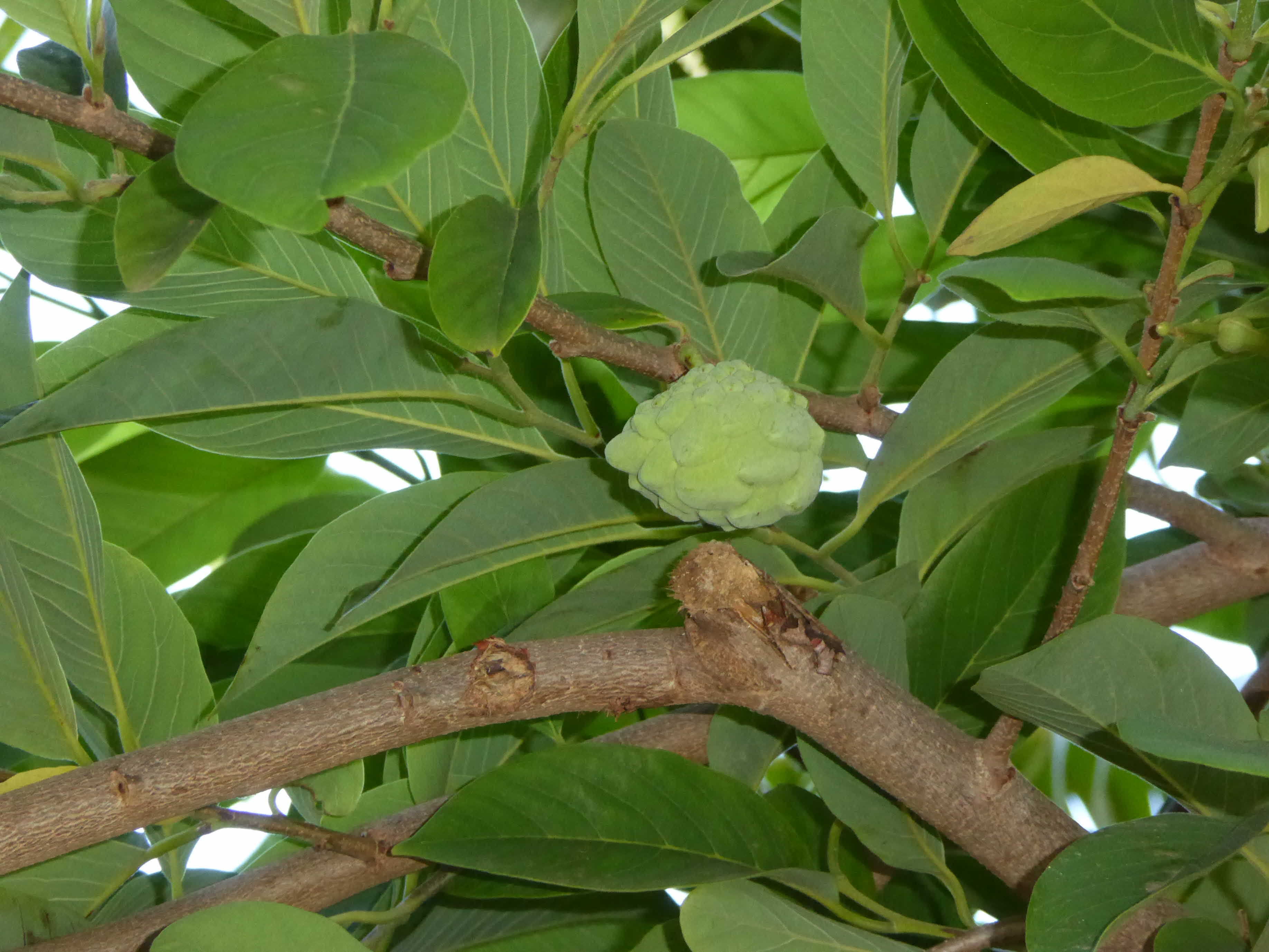 Custard Apple Tree Images