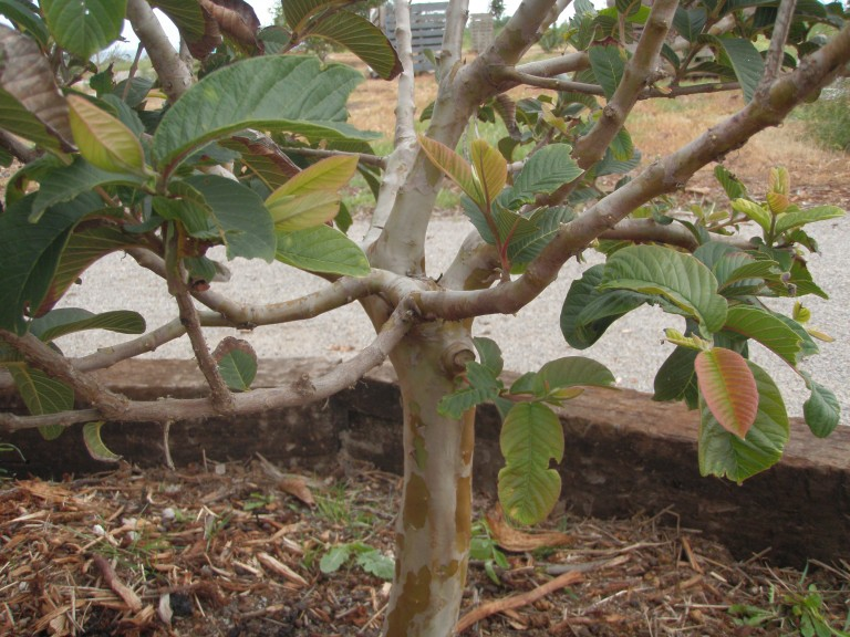 Guava Hawaiian Tree - Psidium guajava
