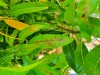Mango Tree Disease