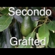 Why the Grafted Secondo Avocado Tree was chosen for Australia